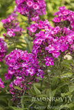 Phlox, Grape Lollipop - Ship to Store - Pickup In Store Only