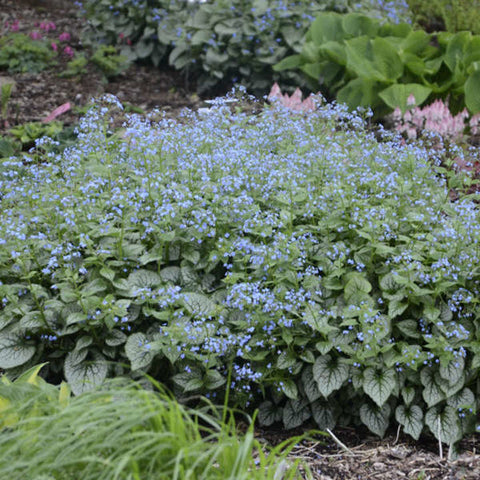 Brunnera, Jack Frost - Ship to Store - Pickup In Store Only