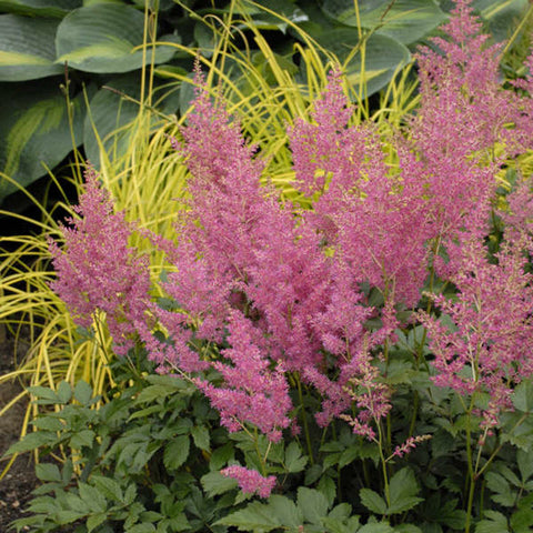 Astilbe, Rheinland Pink - Ship to Store - Pickup In Store Only