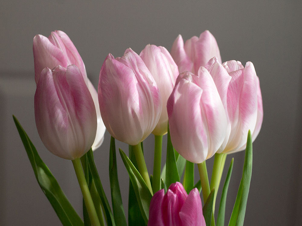 Fall in Love with Tulips