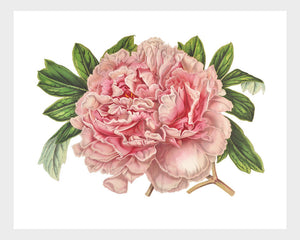 Pink Peony Vintage French Botanical Lithograph Digital Download