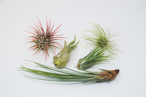 5 Pack Air Plant Variety Pack with Spray Bottle