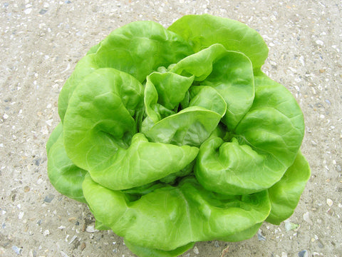 Lettuces, Frank (long-day Butterhead type) (Hydroponics/Greenhouse)
