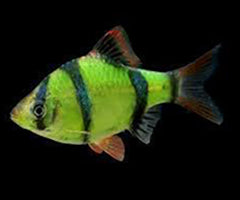 GloFish | Electric Green GloFish Tiger Barb