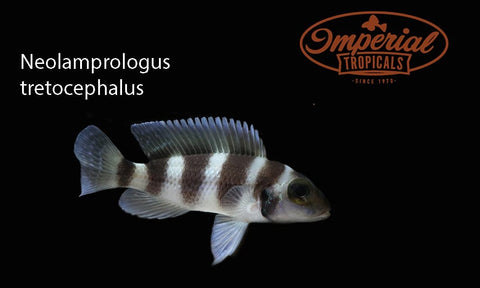 Neolamprologus tretocephalus - Five Bar Cichlid - Imperial Tropicals