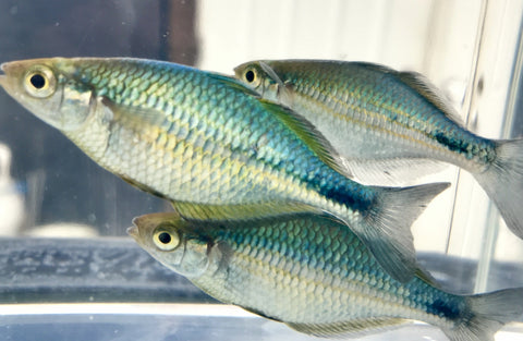 Turquoise Rainbowfish (Melanotaenia lacustris) - Imperial Tropicals