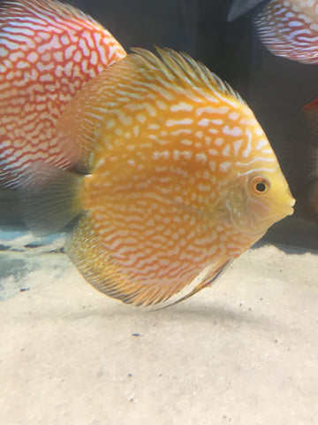 Golden Pigeon Discus - Imperial Tropicals