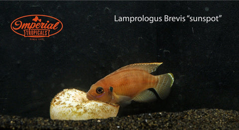 Sunspot Brevis (Lamprologus brevis) - Imperial Tropicals