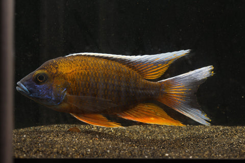 Otter Point Peacock Cichlid (Aulonocara Jacobfreibergi) - Imperial Tropicals