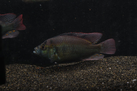 Astatotilapia Aeneocolor (Yellow Belly) - Imperial Tropicals