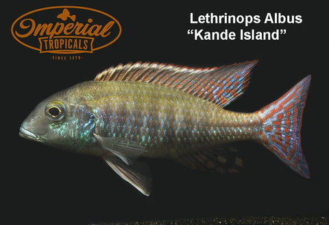 Lethrinops albus Kande Island - Imperial Tropicals