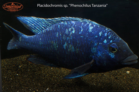 """Star Sapphire"" Placidochromis sp. (Phenochilus Tanzania) - Imperial Tropicals"