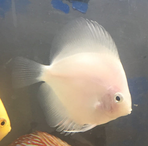 Pure White Discus - Imperial Tropicals