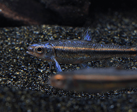 Rainbow Shiner (Notropis chrosomus) - Imperial Tropicals
