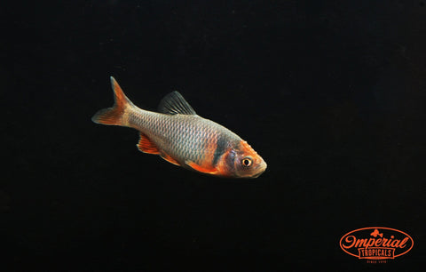 Rainbow Dace (Cyprinella lutrensis) - Imperial Tropicals