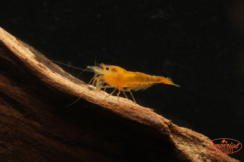 Yellow Shrimp (Neocaridina heteropoda) - Imperial Tropicals