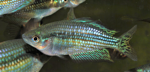"Melanotaenia splendida inornata Rainbowfish ""Adelaide River"" - Imperial Tropicals"