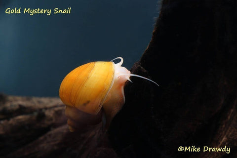 B-Grade Mystery Snails - Imperial Tropicals