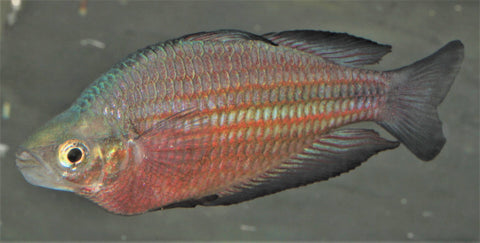 "Melanotaenia Rainbowfish ""Upper Katherine River black fin"" - Imperial Tropicals"