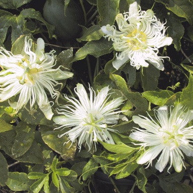Passiflora incarnata 'alba'<h3>White Passion Flower</h3>