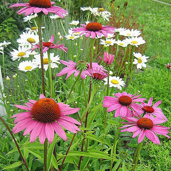 Echinacea purpurea 'Ruby Star'<h3>Coneflower, Ruby Star</h3>