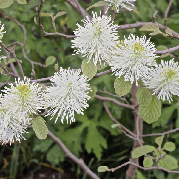 Fothergilla major<h3>Tall Fothergilla</h3>