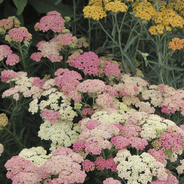 Achillea millefolium 'Peachy Seduction'<h3>Peachy SeductionYarrow</h3>