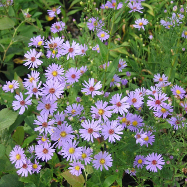 Aster laevis<h3>Smooth Aster</h3>