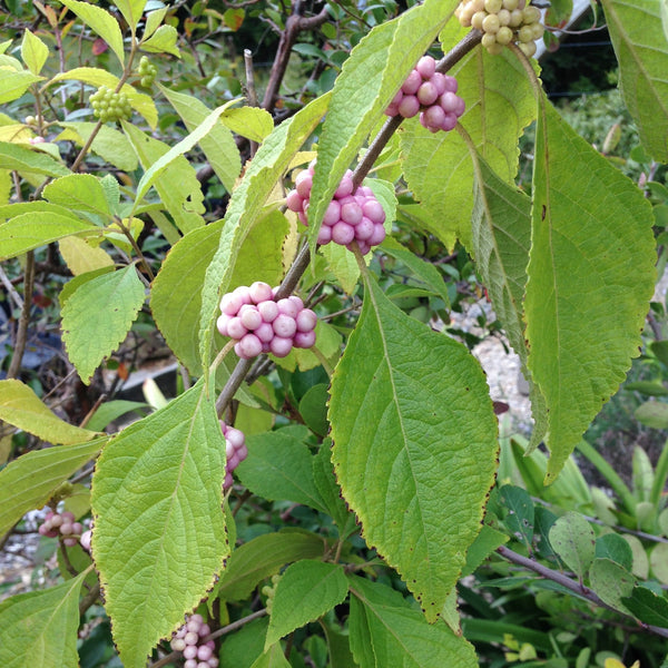 Callicarpa americana 'Welch's Pink'<h3>Welch's Pink Beautyberry</h3>