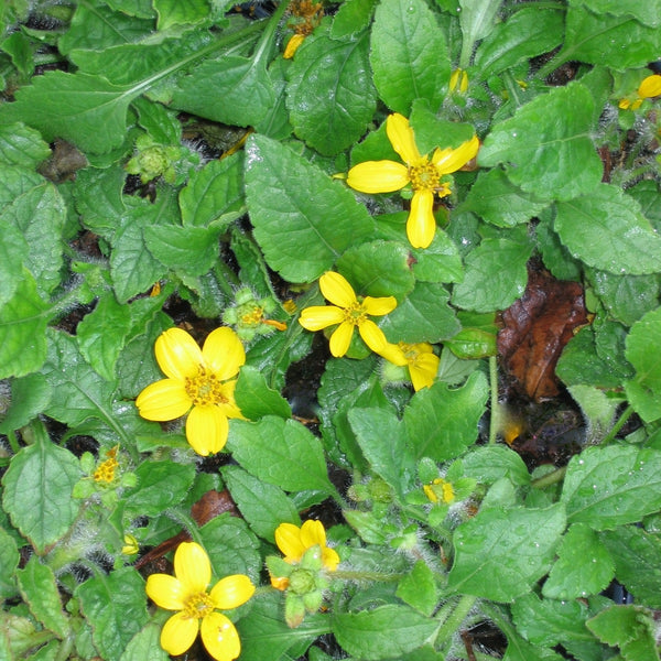 Chrysogonum virginianum var. australe<h3>Green And Gold, Creeping</h3>