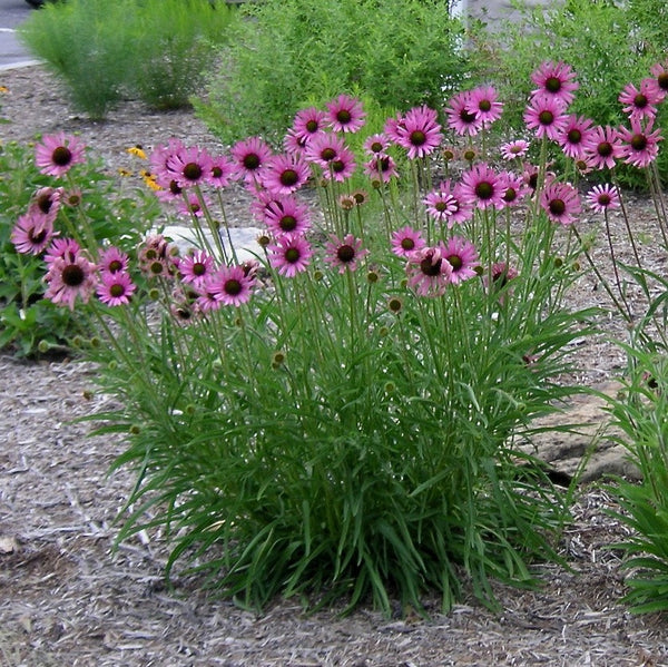 Echinacea tennesseensis<h3>Coneflower, Tennessee</h3>