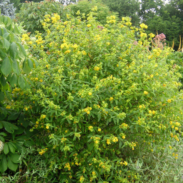 Hypericum prolificum<h3>Shrubby St. Johnswort </h3>