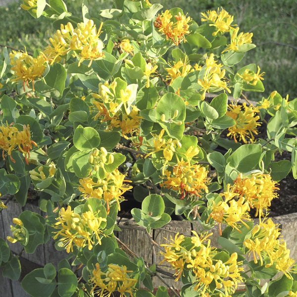 Lonicera flava<h3>Honeysuckle, Yellow</h3>