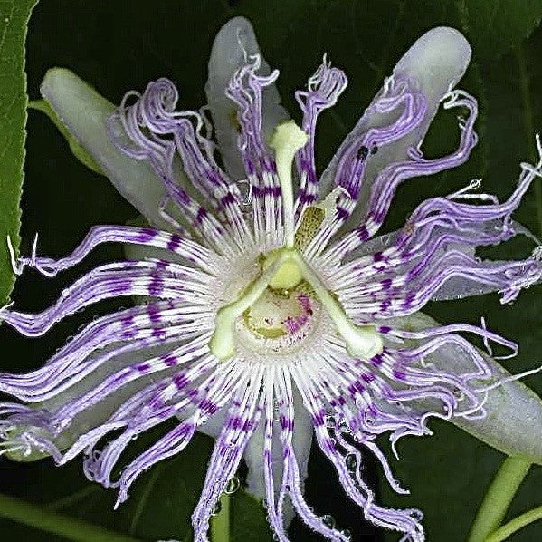 Passiflora incarnata<h3>Passion Flower</h3>