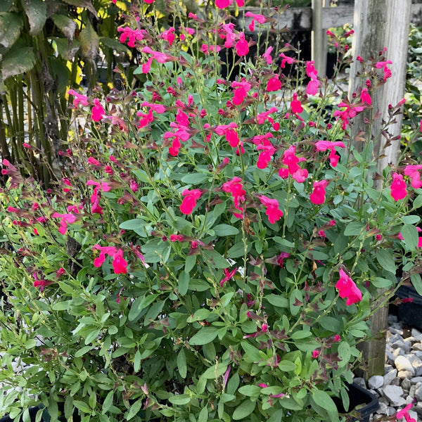 Salvia greggii 'Mirage Hot Pink'<h3>Sage</h3>