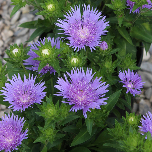 Stokesia laevis 'Peachies Pick'<h3>Peachies Pick Stokes' Aster</h3>