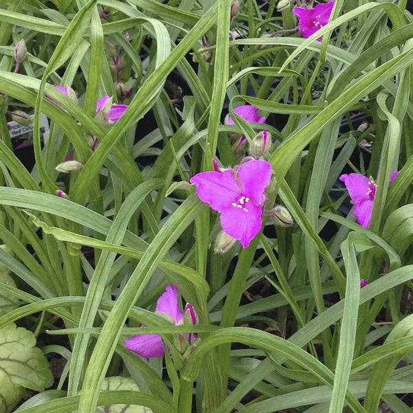 Tradescantia x 'Red Cloud'<h3>Red Cloud Spiderwort</h3>