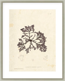 Laurencia Caespitosa Framed Print