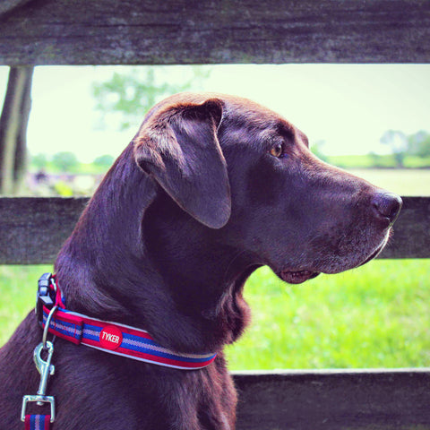 chocolate labrador wearing a stripy dog collar
