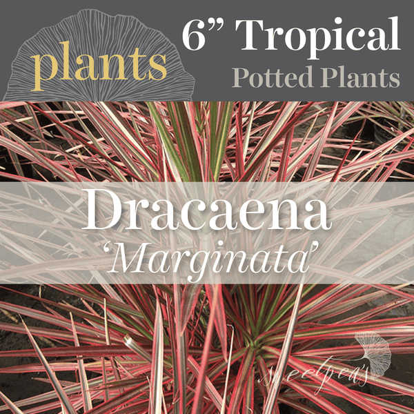 Potted Plants - Dracaena 'Marginata' (6