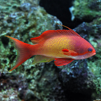 Indian Ocean Lyretail Anthias (Pseudanthias squamipinnis) MALE