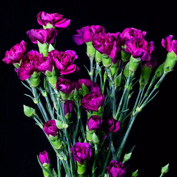 Purple Mini Carnations (Pack of 120 stems) - ifloral.com