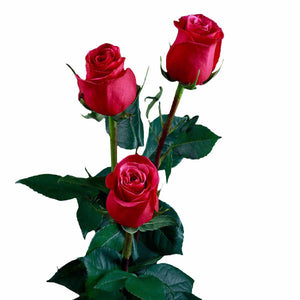 """Cherry O"" Dark Pink Roses (Pack of 100 stems) - ifloral.com"