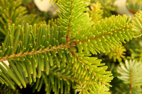 Forrest's Fir,  Abies Forrestii bonsai tree seeds  - 10seeds - Aquarium and Pond Plants
