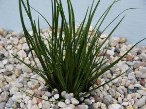 Acorus gramineus - potted pond plant - Aquarium and Pond Plants