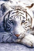 NAT35689 White Tiger
