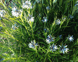 Amsonia hubrichtii Seeds Threadleaf Bluestar
