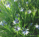 Arkansas Bluestar Amsonia hubrichtii seeds for sale