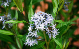 Arkansas Bluestar Amsonia tabernaemontana seeds for sale