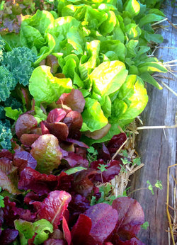Mixed Lettces in the Vegetable Garden at Mountainlily Farm